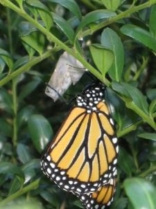 Sweetgum Horticulture | Boston | Monarch Butterfly