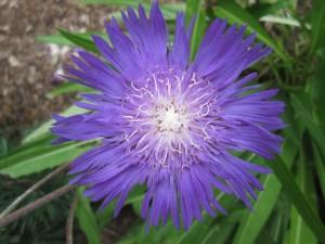 Sweetgum Horticulture | Boston | Stokesia