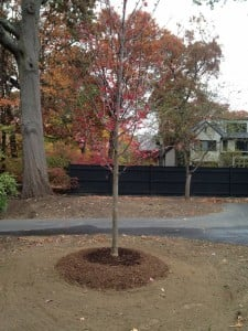 Newly Planted Tree | West Newton Design | Catherine Volic