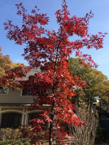 Scarlet Oak | Native Tree | Sustainable Garden Design