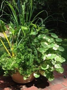 Boston | Edible Planters | Lemongrass August