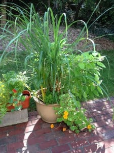 Wellesley | Growing Herbs in Containers | Lemongrass September