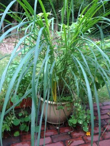 Catherine Volic | Herb Garden in Containers | Lemongrass September
